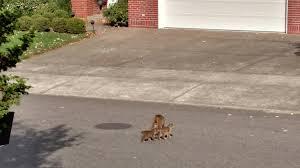 Landscaping Portland Oregon by Jeff Gianola Spots Bobcat Kittens In Nw Portland