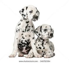 dalmatian puppy white background stock images royalty free images