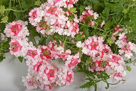 verbena flower verbena lanai pink photo syngenta flowers