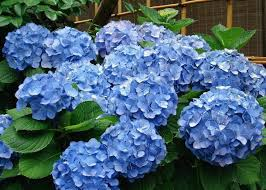 hydrangea flowers pruning hydrangea varieties hydrangea care tips the