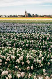 chasing spring in holland tulip fields and cherry blossoms u2014 jan