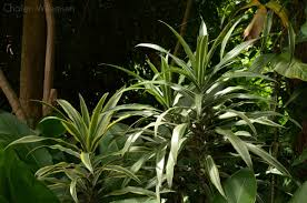 plants native to africa asparagaceae hashtag on twitter