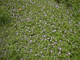sun covers ground cover plants that grow and thrive in sun