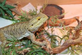 long bearded dragons live pogopogona