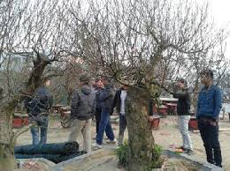 the most expensive trees for tet news vietnamnet