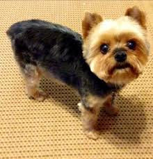 stunning yorkie hair cuts 20 adorable yorkie haircuts yorkie hair styles to try right now