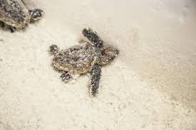learn how you can save endangered sea turtles visit south walton