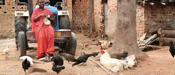 Backyard Poultry In India Vaccinating Chickens Leads To Better Nutrition For Communities In