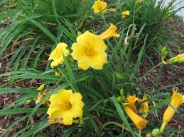 stella daylily stella d oro and last daylily to bloom what grows there
