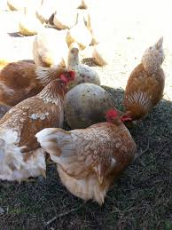 start your own backyard chicken flock tallahassee com community
