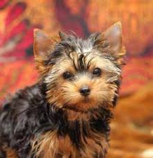 yorkie poo haircut teddy bear yorkie yorkshire terrier information center