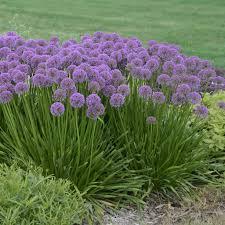 allium millenium ornamental sunlight gardens