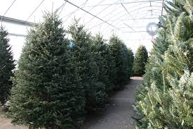 fresh cut fraser fir christmas tree christmas lights decoration