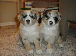 australian shepherd male names australian shepherd dogs australian shepherd dog breed info