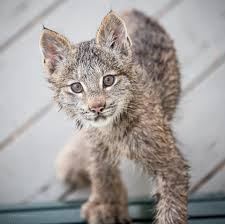 alaskan photographer wakes up to lynx kittens playing on his porch