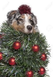 Australian Christmas Australian Christmas Tree Stock Photos Royalty Free Australian