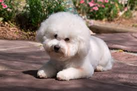 bichon frise whining the best dogs for apartments