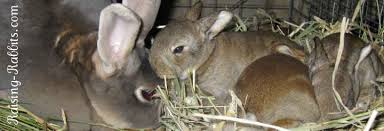feeding baby rabbits baby rabbit food and care for orphan bunnies