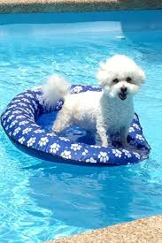 bichon frise years best bichon ever 13 year old lucy loves the pool bichon frisé