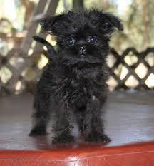 affenpinscher missouri 17 photos of affenpinscher puppies for sale in michigan u2022 petmehome