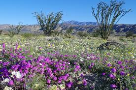 anza borrego desert flowers poppies verbena and lilies oh my deluge leads to southwestern