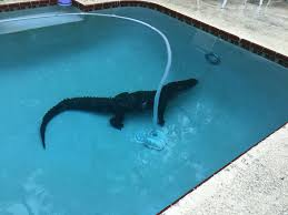swimming pools two alligators caught relaxing in different florida swimming pools