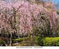 small cherry blossom tree bloom stock photo 623144930