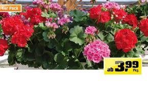 balkon blumen balkonblumen gemischt 3 99 obi angebot wogibtswas at