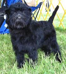 affenpinscher uk breeders affenpinscher for more photos visit dogsarena com dog breeds