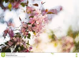 beautiful spring blooming tree gentle white flowers fresh cherry