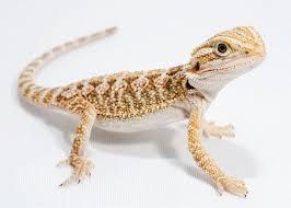 bearded dragon petco