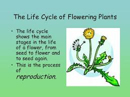 Life Cycle Of A Flowering Plant - everything you need to know about flowers ppt video online download