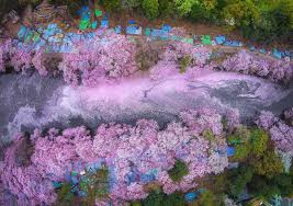 your cherry blossom pictures