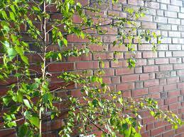 flieder balkon foto birke in vollem grün klaus ahrens news tipps und fotos