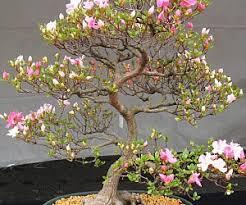 bonsai maple tree seeds