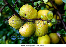 chaenomeles fruit chaenomeles japonica stock photo royalty free