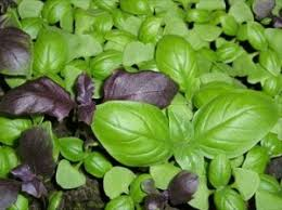 basilico in vaso malattie coltivazione basilico albanesi it