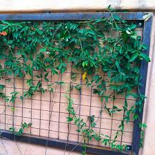 Climbing Plants For North Facing Walls - desert gardening plants for dry shade