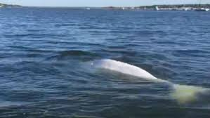 New Jersey Rivers images Three beluga whales spotted in new jersey shore rivers cbs new york jpg