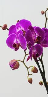 Orchid Flower Pic - best 20 purple orchids ideas on pinterest u2014no signup required