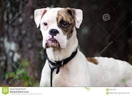 boxer dog white white and brindle boxer dog stock photo image 84021658