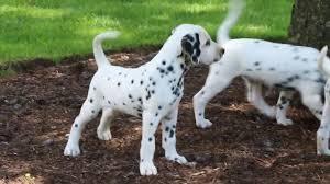 dalmatian puppies sale