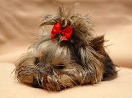 types of yorkie haircuts pictures wonderful types of yorkie haircuts styles be cheap haircut the