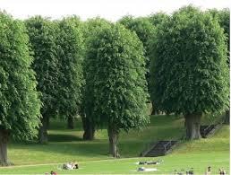 pollarding trees hubpages