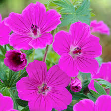 geranium tiny monster