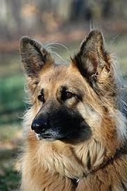 Light Sable German Shepherd King Shepherd Wikipedia