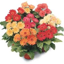 gerbera daisies revolution mix gerbera flower seeds veseys