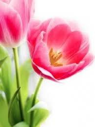 wallpaper bunga tulip download tulips wallpaper 240x320 wallpoper 3321