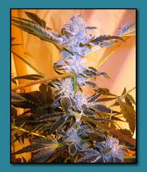 wedding cake genetics animal cookies by seed genetics seedfinder strain info
