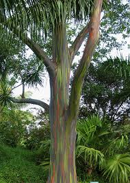 rainbow eucalyptus in stock and for sale exotica tropicals